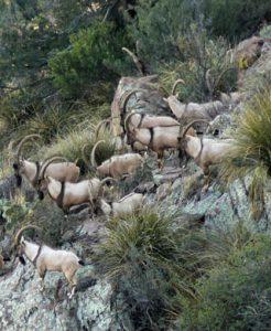 ibex-herd-246x300